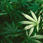 Recreational Marijuana Laws and Arizona